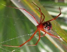 The Red Widow Spider.
