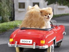 Boo, The World's Cutest Dog, Shares His Seven Steps to Digital Detox Boo The Cutest Dog, World Cutest Dog, Cute Puppies, Dogs And Puppies, Boo And Buddy, Huge Dogs, Doge, Mans Best Friend, Dog Lovers