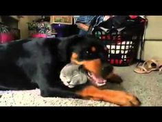 Rottweiler loves the cat so much - YouTube