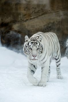 My favorite of the big cats. The white tiger. Tiger Pictures, Animal Pictures, Beautiful Cats, Animals Beautiful, Image Tigre, Big Cats, Cute Cats, Animals And Pets, Cute Animals