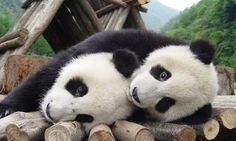 According to legend, the panda was once an all-white bear. When a small girl tried to save a panda cub from being attacked by a leopard, the leopard killed the girl instead. Pandas came to her fune… Funny Animal Images, Funny Animals, Funny Pictures, Cute Animals, Funny Pics, Panda Bebe, Cute Panda, Panda Hug, Panda Funny