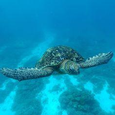 """If you don't like something change it. If you can't change it change your attitude."" Maya Angelou  _____ #ladyelliotisland #southerngreatbarrierreef #greatbarrierreef #exploreGBR #seeaustralia #discoverqueensland #snorkel #snorkelaroundtheworld #turtle #turtletuesday #instagood #instadaily #inspiration #ig_australia #mermaid #mermaidlife #freediving #underwater #underwaterphotography #thisismyparadise #quote #quoteoftheday #waterlust #wanderlust #motivation #saltlife #attitude by hawkeeyes…"