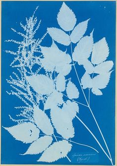 "Spiraea aruncus (Tyrol) - ""This botanical study is the first work by the British artist Anna Atkins and the earliest photograph by a woman to enter the Museum's collection. The cyanotype of several sprigs of a Tyrolean flowering shrub (Spiraea aruncus) is one of 160 plates removed in 1981 from a unique album, Cyanotypes of British and Foreign Flowering Plants, inscribed by the artist in 1854 as a gift to her family friend and collaborator, Anne Dixon, second cousin of the novelist Jane…"