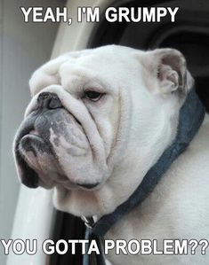 The major breeds of bulldogs are English bulldog, American bulldog, and French bulldog. The bulldog has a broad shoulder which matches with the head. Funny Animal Memes, Funny Animal Pictures, Funny Dogs, Cute Dogs, Funny Animals, English Bulldog Funny, English Bulldog Puppies, British Bulldog, Funny Bulldog