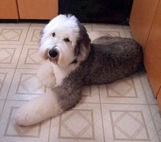 Repinned old english sheepdog pet trim httpamzn2h50xsk scissor trimming an old english sheepadoodle i like the face cut on this pup solutioingenieria Image collections