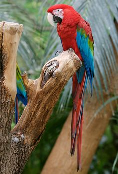 Tropical Animals, Colorful Parrots, Tropical Birds, Exotic Birds, Colorful Birds, Beautiful Birds, Animals Beautiful, Animals And Pets, Cute Animals