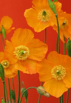Poppies by Redscape Flowers Orange
