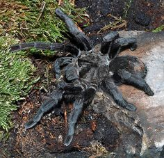 The Best Tarantula Species for Beginners Vicks Vaporub, Scorpion, Itsy Bitsy Spider, Earthworms, Beautiful Bugs, All Gods Creatures, Nature Pictures, Beautiful Creatures, Insects