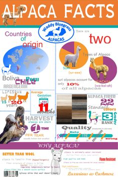 Check out some of these sweet alpaca facts! Suri Alpaca, Llama Alpaca, Llama Facts, Farm Facts, Raising Farm Animals, Alpaca My Bags, Survival Supplies, Facts For Kids, Animal Facts