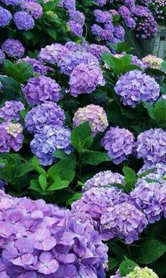 Hydrangeas Hydrangea Wallpaper, Flower Wallpaper, Hydrangea Garden, Hydrangea Flower, Beautiful Flowers Garden, Pretty Flowers, Home Landscaping, Flower Aesthetic, Outdoor Gardens