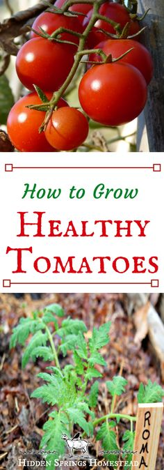 Organic Vegetable Gardening How to Grow Healthy Tomatoes - Want healthy tomato plants? This article gives a list of organic additives to add to soil with planting so your plants will grow strong and healthy. Simple steps to grow healthy tomatoes. Growing Tomatoes Indoors, Tips For Growing Tomatoes, Growing Tomato Plants, Growing Tomatoes In Containers, Growing Vegetables, Grow Tomatoes, Baby Tomatoes, Cherry Tomatoes, Heirloom Tomatoes