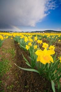 Daffodils growing under stormy skies in Central Saanich, the daffodil capital of Canada.