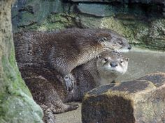 Northern River Otter (Lontra canadensis) [Photo taken by J.Lewis at the WV Wildlife Management Center at French Creek, with a 6 MP digital camera.]