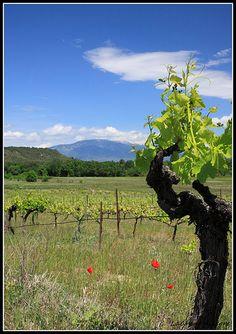 Pied de Vigne sur le Mont Ventoux (par redwolf8448)