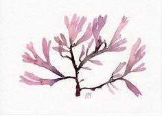 Red seaweed Palmaria Palmata | Flickr - Photo Sharing!