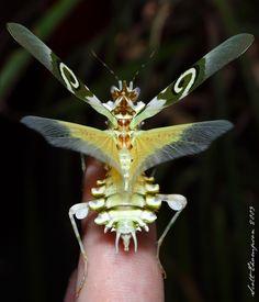 Pseudocreobotra wahlbergii (Spiny flower mantis)