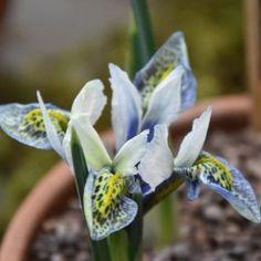 Iris reticulata Splish Splash - Iris réticulé