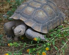 Russian Tortoise Diet Guide / Helpful Tips And Tricks Tortoise Habitat, Tortoise Care, Giant Tortoise, Sulcata Tortoise, Turtle Habitat, Russian Tortoise, Hens And Chicks, Tortoises, Pet Care