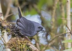 Paramo tapaculo (Scytalopus opacus) resembles other Scytalopus tapaculos, being overall dark grey with brown to the lower flanks. Females are dull brown above.