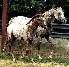 Tiger Horse FOALS at Annandale's Tiger Horse Farm - Fairy Tale Story and foal Butterfly