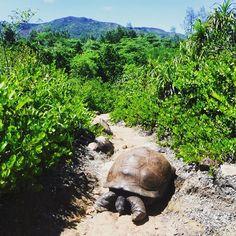 McGregor, the biggest of our 150 or so Aldabra Giant tortoises! Sulcata Tortoise, Giant Tortoise, Volunteer Abroad, Wildlife Conservation, Tortoises, Seychelles, Kenya, United Kingdom, Thailand