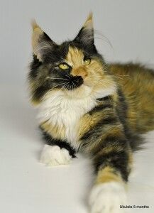 5 month old Ukele Maine Coon Calico
