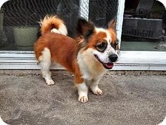 San Diego, CA - Corgi/Spitz (Unknown Type, Medium) Mix. Meet Charlie a Dog for Adoption.
