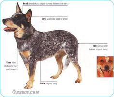 Yep- that's a Blue Heeler, or Australian Cattle Dog.