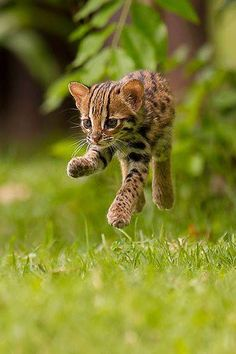 Looks like a tiny ocelot kitten