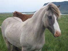 Billedresultat for icelandic horse