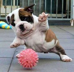 English Bulldog: