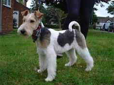 Paviawyre Charlie Wire Fox Terrier-a smart boy.