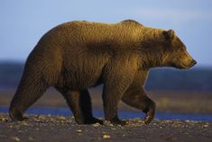 grizzly bear side profile - Google Search