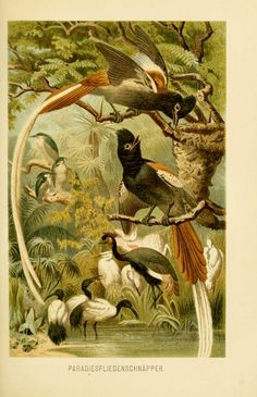 Paradise of Birds, Brehms Tierleben by Dr. Pechuel-Loesche (1893)