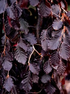Fagus sylvatica ' Black Swan ' An upright deciduous beech tree with strongly weeping side branches. Foliage is a shiny black-purple. Prefers full sun in well-drained soil. Fairy Garden Plants, Garden Shrubs, Deciduous Trees, Trees And Shrubs, Tree Leaves, Plant Leaves, Weeping Trees, Front Yard Plants, Purple Garden