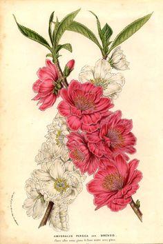Rosaceae - Prunus persica x sinensis- Amygdalus persica.