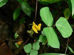 El poroto chino o lǜ dòu(en mandarín o chino) (loctao en dialecto cantonés) (Vigna radiata), también conocida como judía mungo o soja verde (aunque no debe confundirse con la soja) es una planta erecta que posee flores amarillas y legumbres de forma cilíndricas de pequeño tamaño, las semillas son algo pequeñas y los granos caen fácilmente de las vainas ya secas; esta es una de las leguminosas de mayor contenido proteínico de su familia y con... (Photo: (c) Dinesh Valke, algunos derechos…