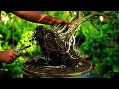 Bonsai repotting-How to change the soil of a bonsai Bonsai Garden, Plant Hanger, Cool Pictures, Channel, Gallery, Link, Outdoor Decor, Nature, Youtube