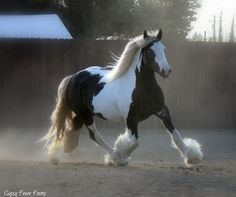 Gypsy Vanner Mare - Majestic's Lady Guinevere aka 'Gigi' owned by Gypsy Fever Farms in California