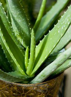 wikiHow to Grow an Aloe Plant With Just an Aloe Leaf -- via wikiHow.com