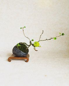 #木瓜  #木瓜の実  #bonsai #bonsaipot  #盆栽 #小品盆栽  #味 #実もの