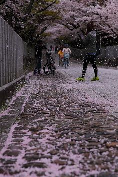 Snowing cherry blossoms - (Kyoto, Japan)