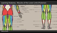 Just giving myself a little refresher on a bit of anatomy using 3dtotals male anatomy figure. This is part 9 of 9 looking at the muscles of the lower limb (posterior aspect).  Muscles of interest: Gluteus maximus, Gluteus medius, Biceps femoris, Vastus lateralis, Semitendanosus, Semimembranosus, Gracilis, Adductor magnus, plantaris, gastrocnemius, soleus, Flexor digitorum longus, Peroneus Brevis, Peroneus longus,