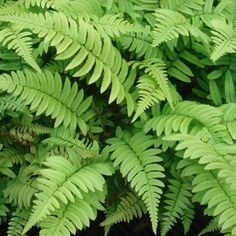 Dryopteris cycadina for a shady corner Belle Plante, Garden Inspiration, Garden Design, Plant Leaves, Green, Plants, Image, Strasbourg, Mousse