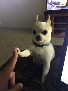 Cute Chihuahua, Chihuahua Puppies, Cute Puppies, Cute Dogs, Cute Babies, Chihuahuas, Teacup Chihuahua, Cute Little Animals, Cute Funny Animals