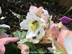 Gartenglück Helleborus Bienen