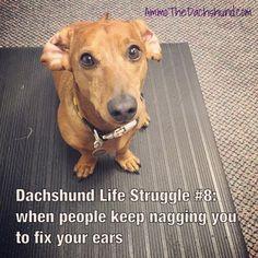 Dachshund Life Struggle