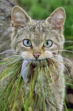 Cat with mole in mouth.. And a lot of grass. lol.