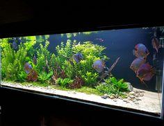 Aquarium discusfish