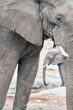 African Elephant, Botswana By Tim Plowden #timplowdenphotography #elephant #tusks #ivory #wildlife #wildlifephotography #animals #travel #africa #conservation